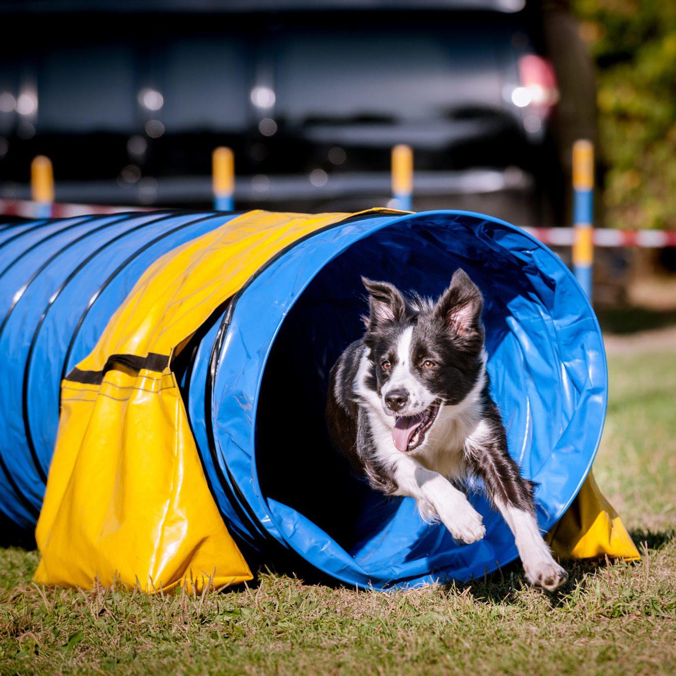 international agility dog