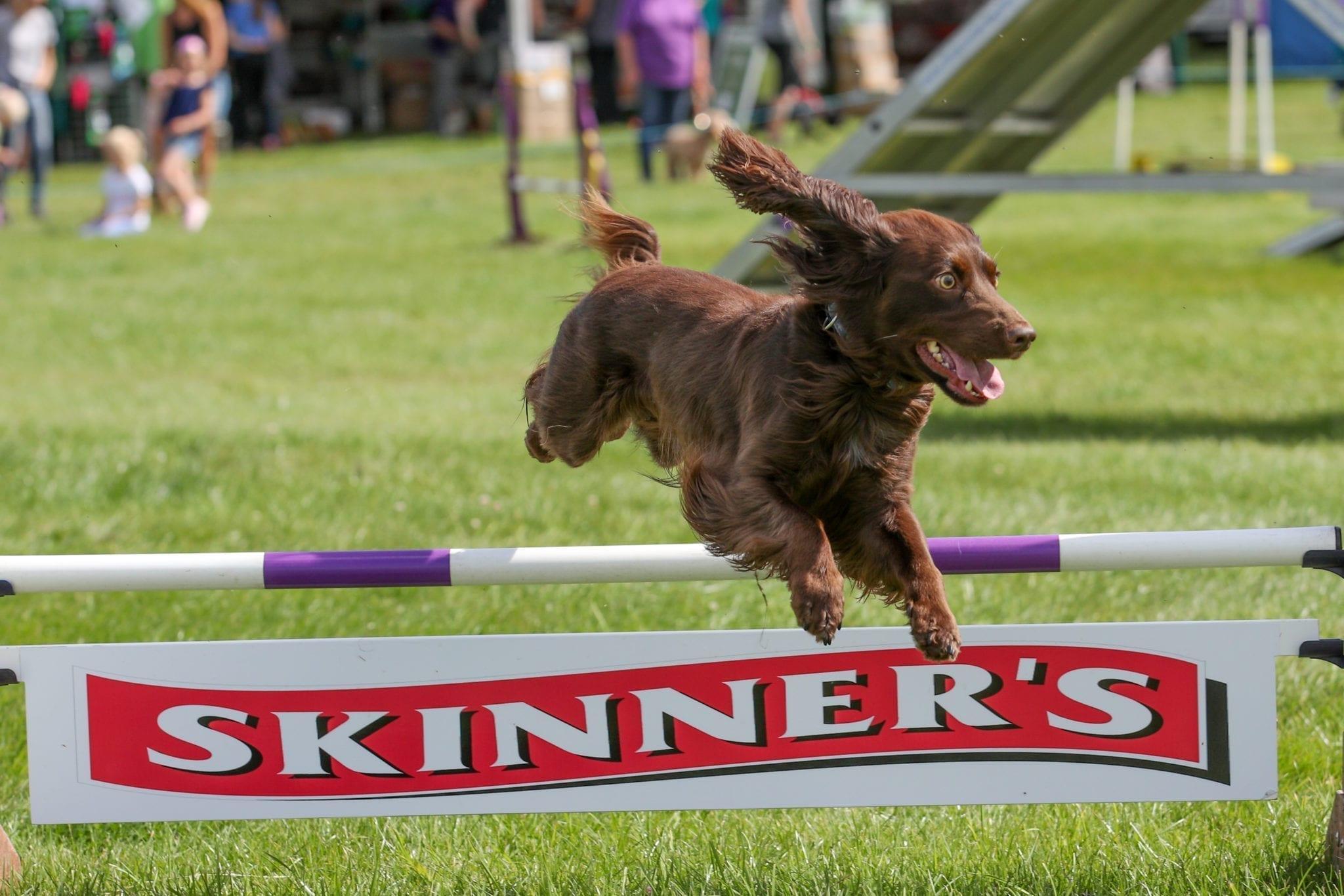 Spaniel doing agility