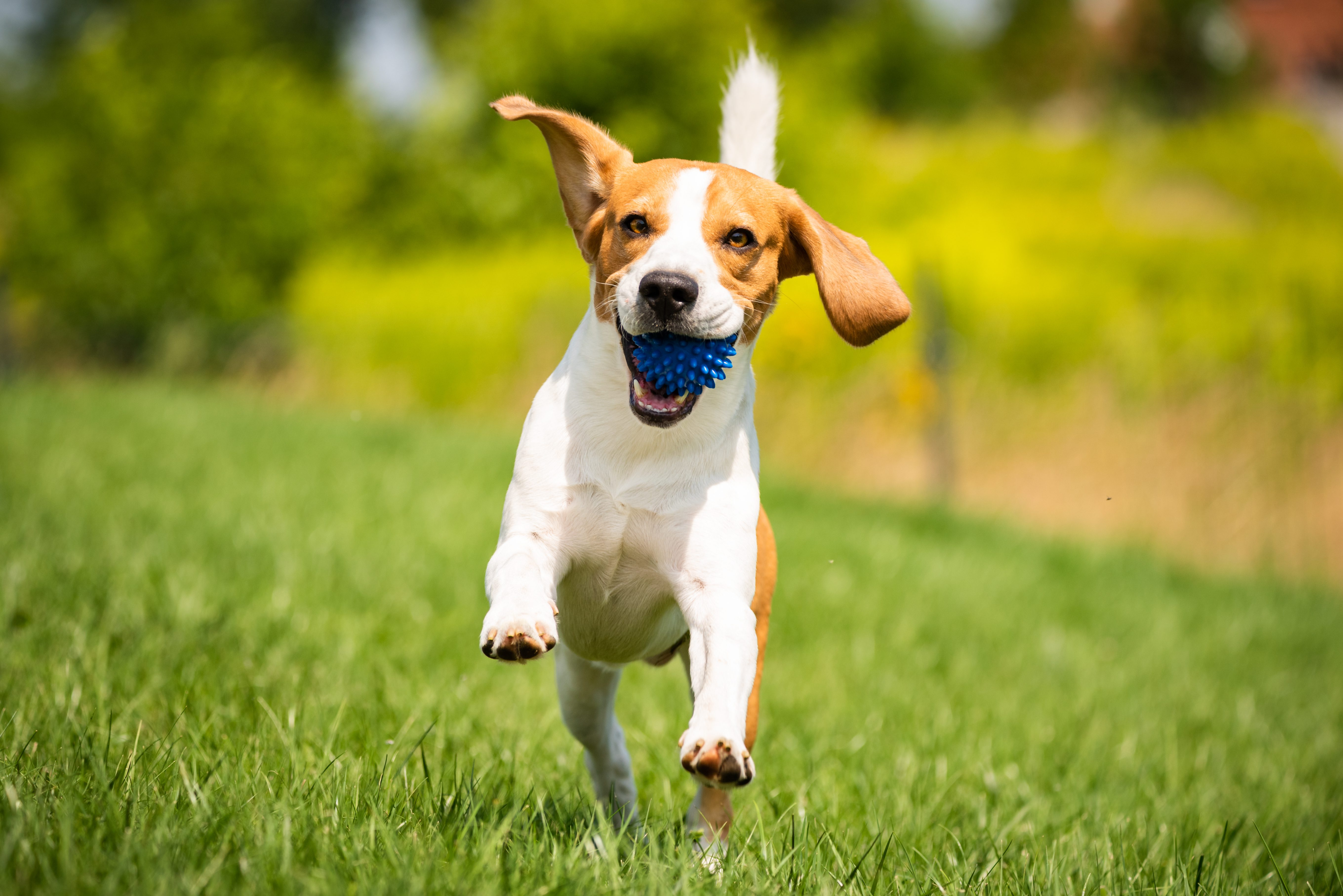 beagle playing fetch