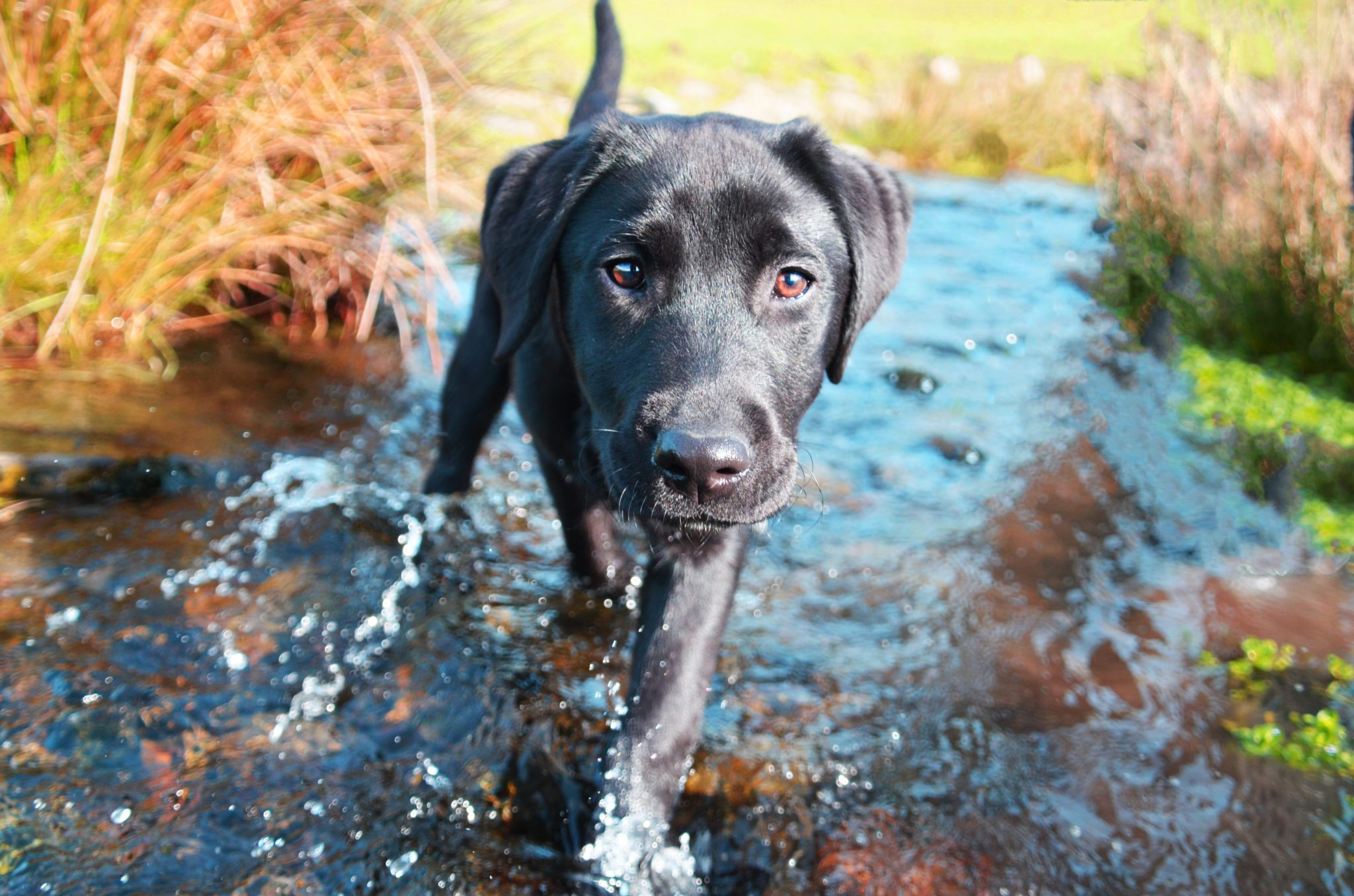 Labrador - the most popular dog breed in the UK