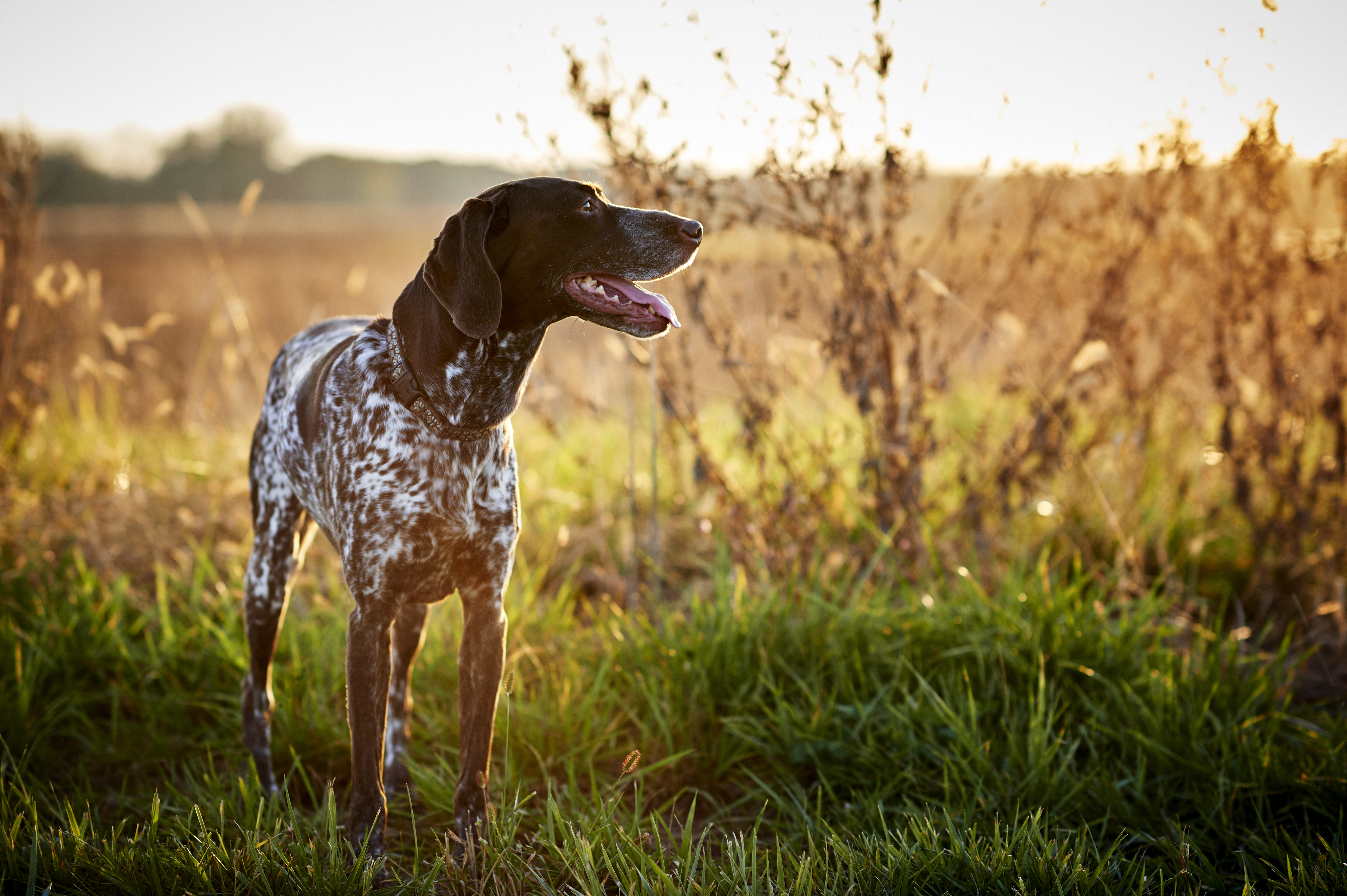 Pointer in the countryside