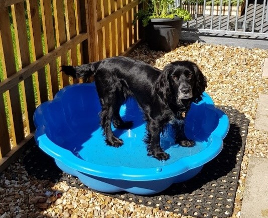 Spaniel cooling off in paddling pool