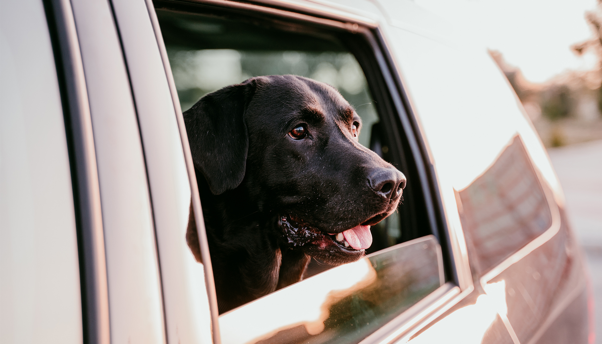 Black Labrador dog looks out of the window of the car.